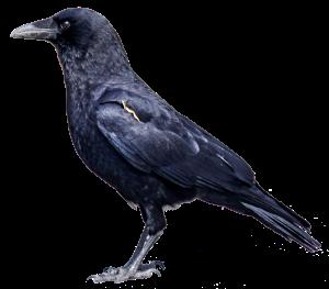 crow x