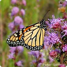 BUTTERFLY INSPIRATION: The migration of the Monarch is a wonder of nature. The trip is completed by 5 generations - no single butterfly makes the trip.