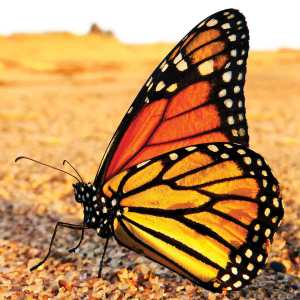 Monarch Butterflies possess a mind-boggling skill that receives less acclaim: Without any guidance, these insects inherently know how, when and where to migrate across continents—and it takes four generations to make the yearlong trek.