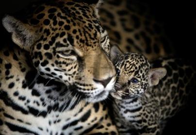 Jaguar Mom