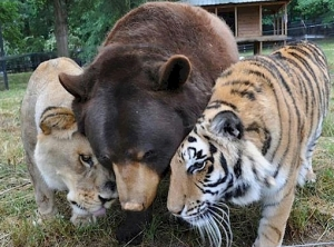 bear-tiger-lian