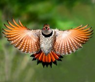 Northern Flicker (under-wings)