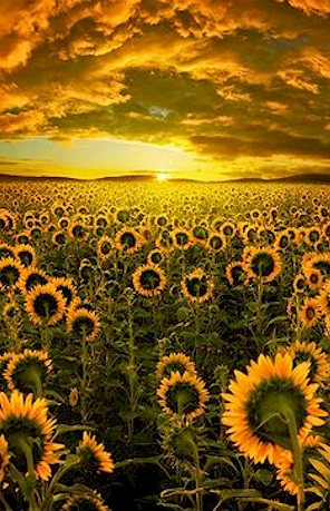 sunflowers-facing the sun
