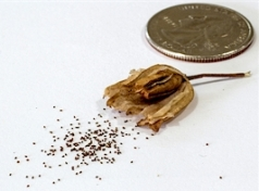 seed small
