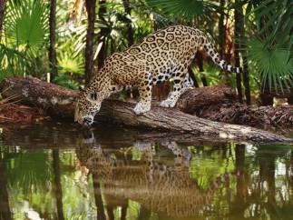 jaguar-rainforest